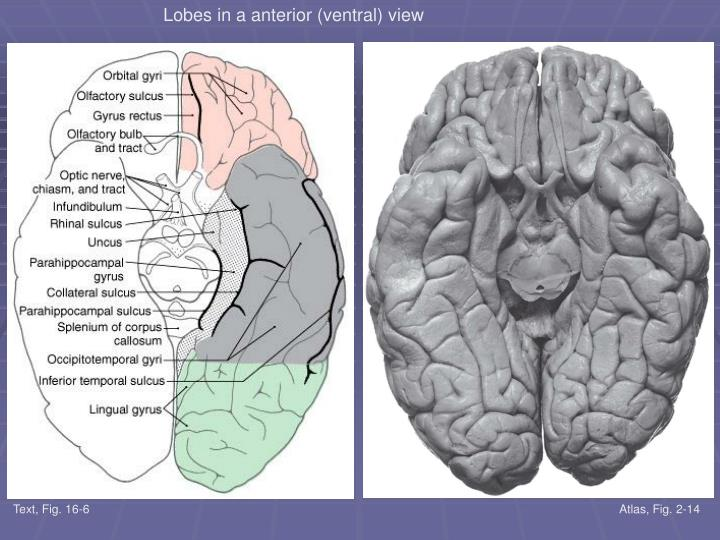 Lobes in a anterior (ventral) view