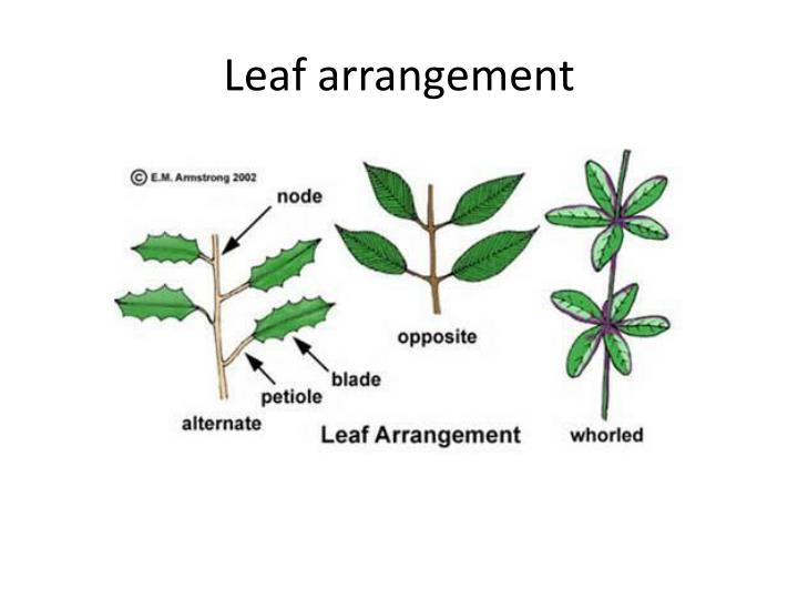 Leaf arrangement