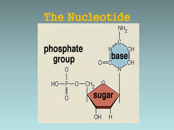 The Nucleotide