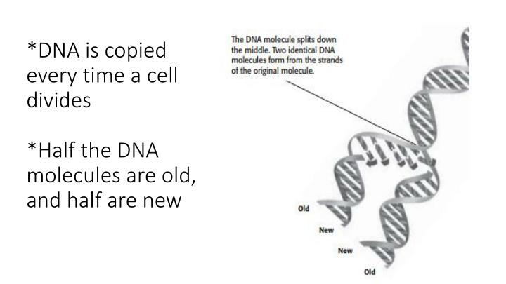 *DNA is copied every time a cell divides