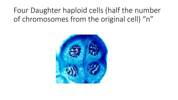 """Four Daughter haploid cells (half the number of chromosomes from the original cell) """"n"""""""