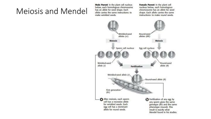 Meiosis and Mendel