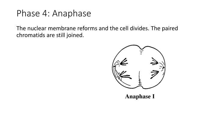 Phase 4: Anaphase