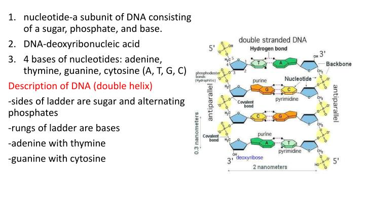nucleotide-a subunit of DNA consisting of a sugar, phosphate, and base.