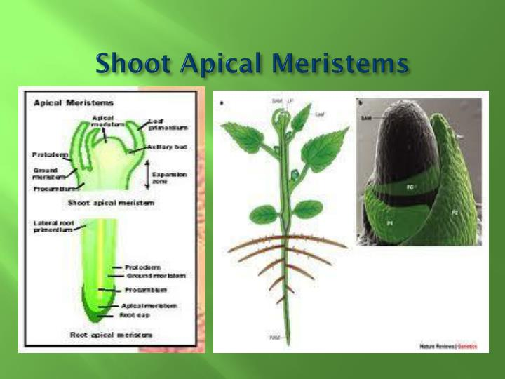 Shoot Apical