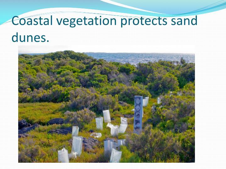 Coastal vegetation protects sand dunes.