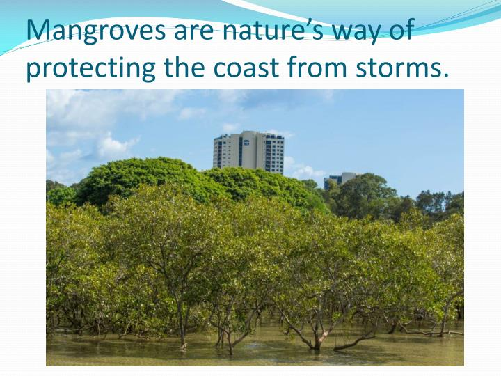 Mangroves are nature's way of protecting the coast from storms.