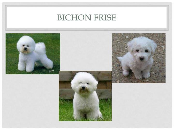 Bichon