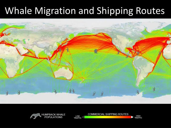 whale migration and shipping routes