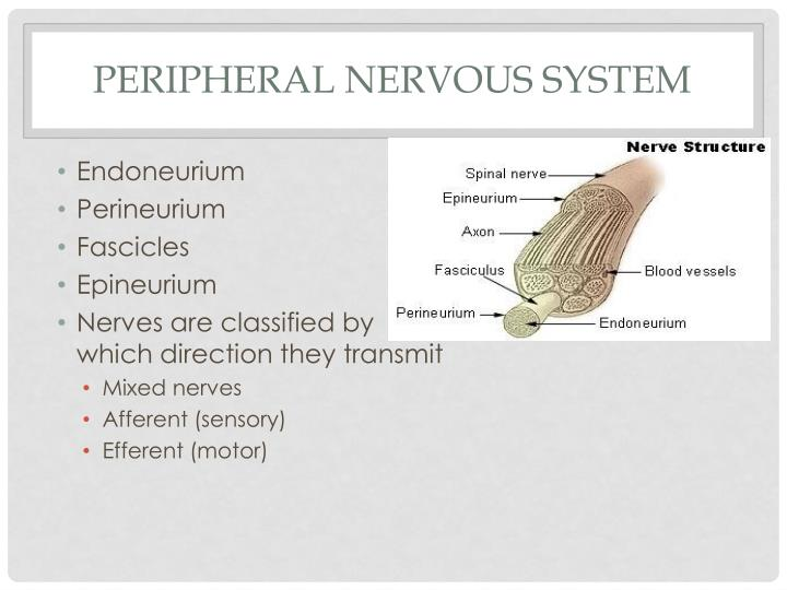 Peripheral Nervous System