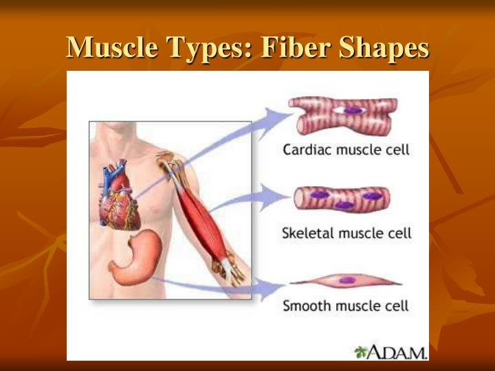 Muscle Types: Fiber Shapes