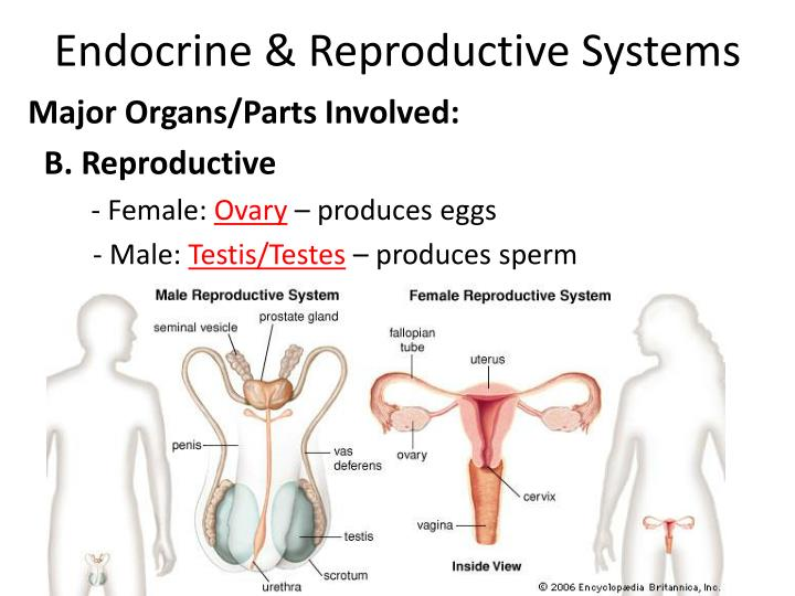 Endocrine & Reproductive Systems
