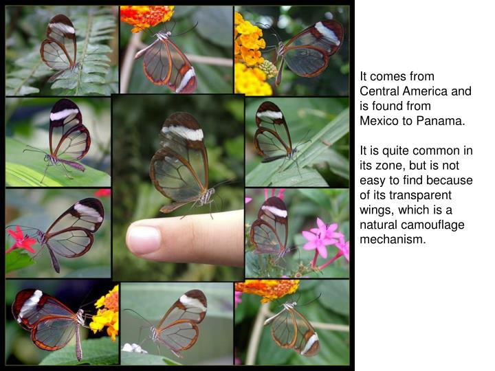It comes from Central America and is found from Mexico to Panama.