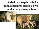 a daddy sheep is called a ram a mommy sheep a ewe and a baby sheep a lamb