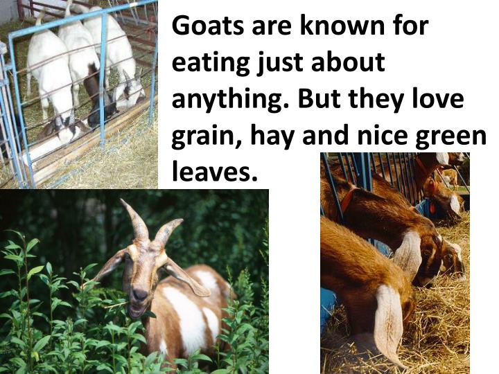 Goats are known for eating just about anything