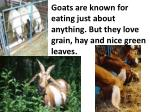 goats are known for eating just about anything but they love grain hay and nice green leaves