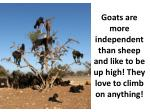 goats are more independent than sheep and like to be up high they love to climb on anything