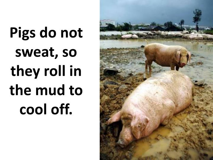 Pigs do not sweat, so they roll in the mud to cool off.