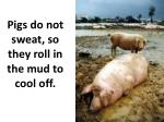 pigs do not sweat so they roll in the mud to cool off