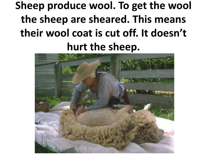 Sheep produce wool. To get the wool the sheep are sheared. This means their wool coat is cut off. It doesn't hurt the sheep.