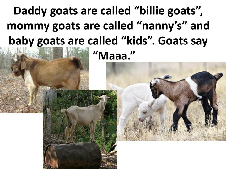 Daddy goats are called ""