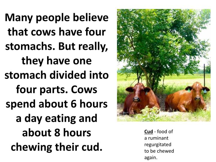 Many people believe that cows have four stomachs. But really, they have one stomach divided into four parts. Cows spend about 6 hours a day eating and about 8 hours chewing their cud.