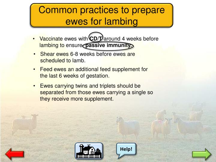 Common practices to prepare ewes for lambing