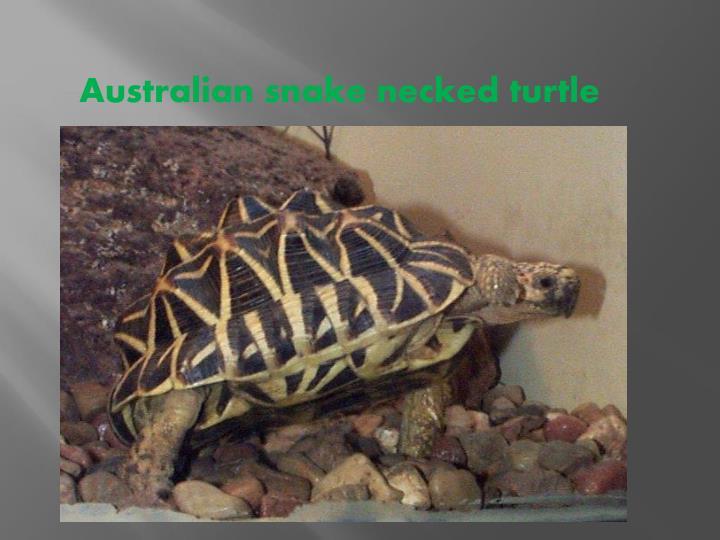 Australian snake necked turtle