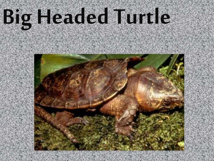Big Headed Turtle