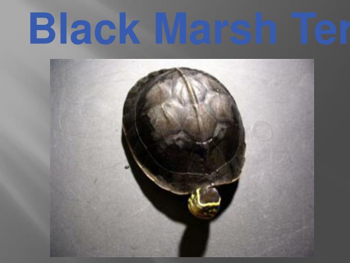 Black Marsh Terrapin