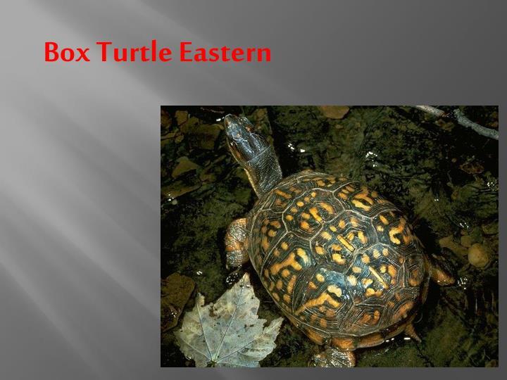 Box Turtle Eastern