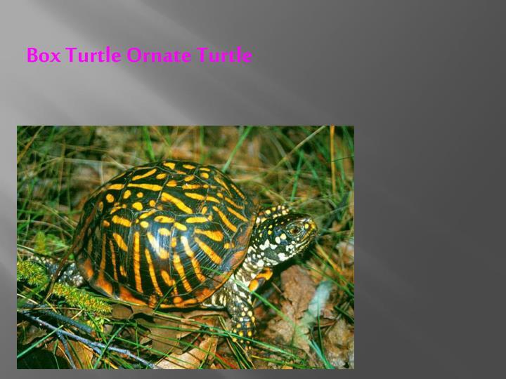 Box Turtle Ornate Turtle