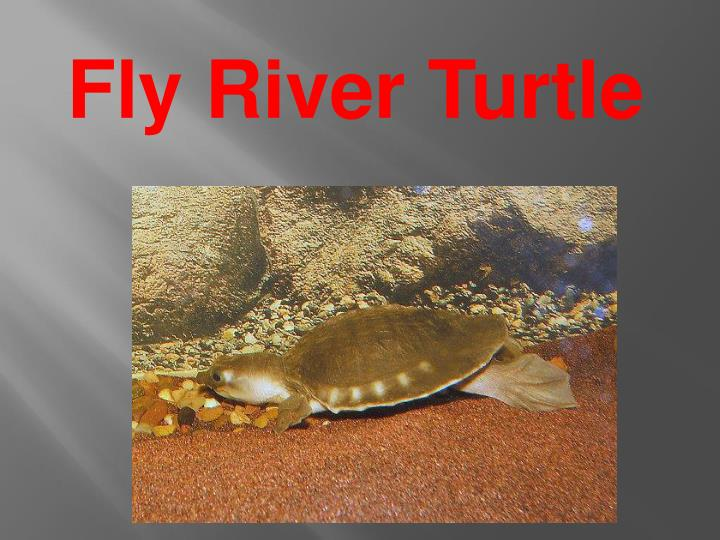 Fly River Turtle