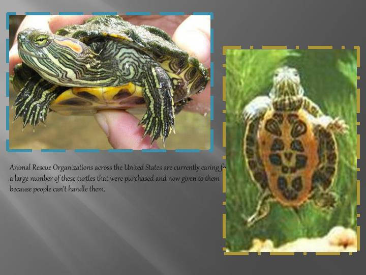 Animal Rescue Organizations across the United States are currently caring for a large number of these turtles that were purchased and now given to them because people can't handle them.