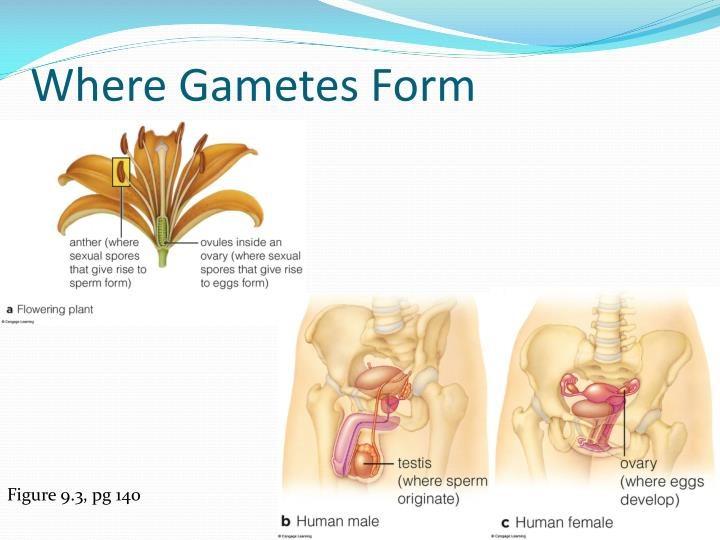 Where Gametes Form