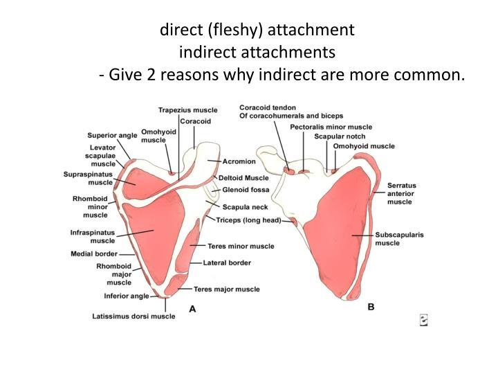 direct (fleshy) attachment