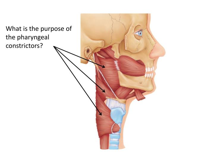 What is the purpose of the pharyngeal constrictors?