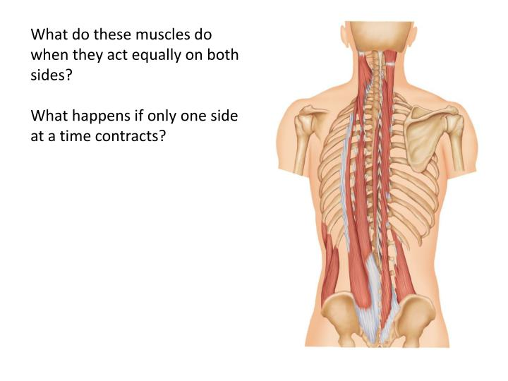 What do these muscles do when they act equally on both sides?