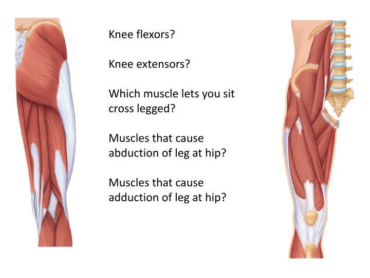 Knee flexors?