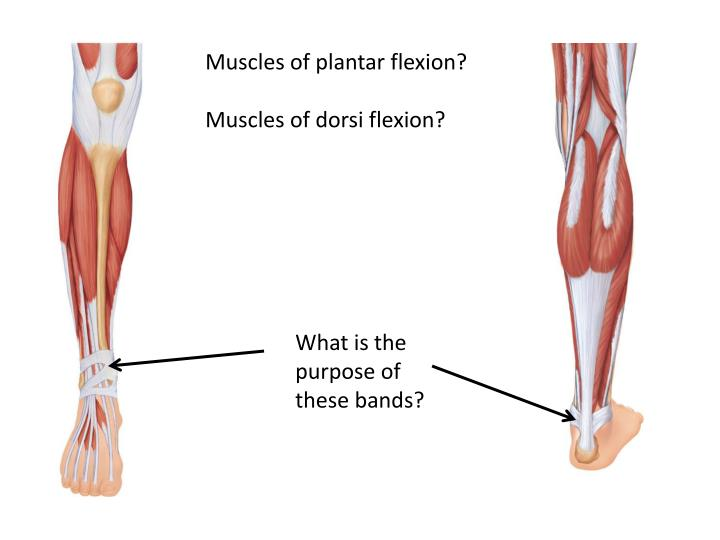 Muscles of plantar flexion?
