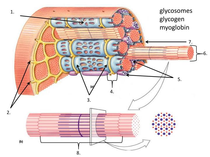 glycosomes