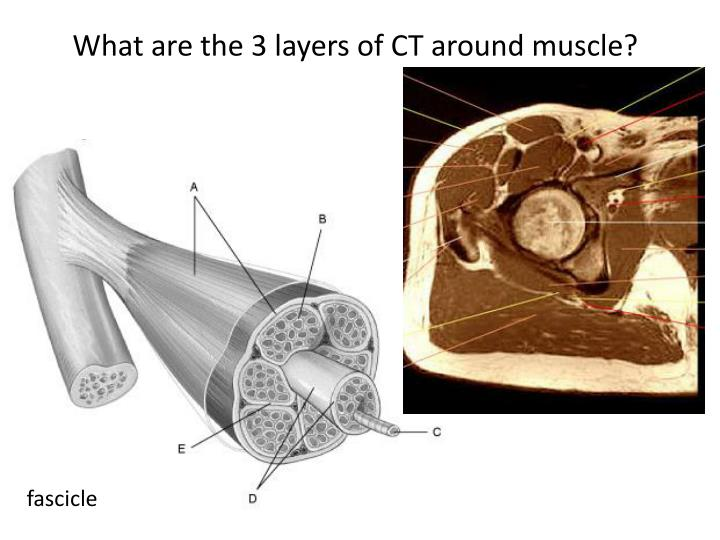 What are the 3 layers of CT around muscle?