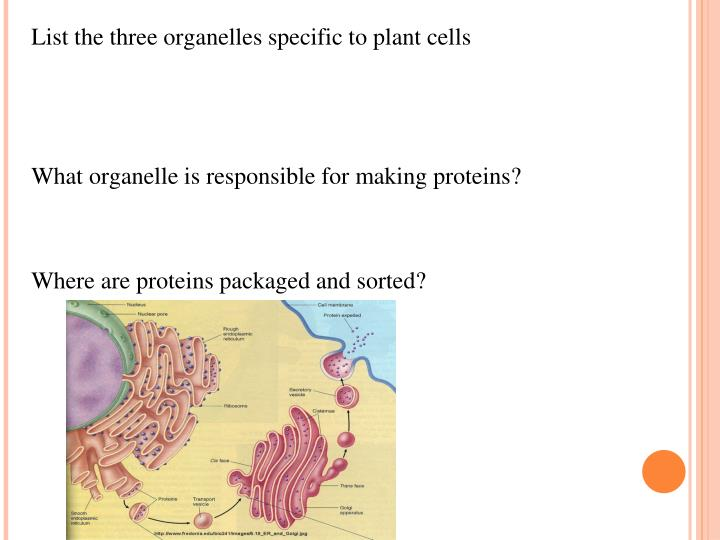 List the three organelles specific to plant cells