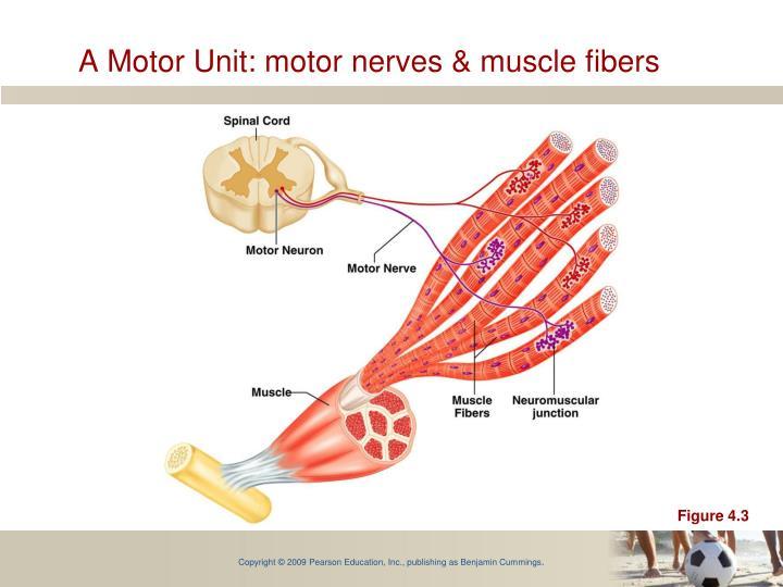A Motor Unit: motor nerves & muscle fibers