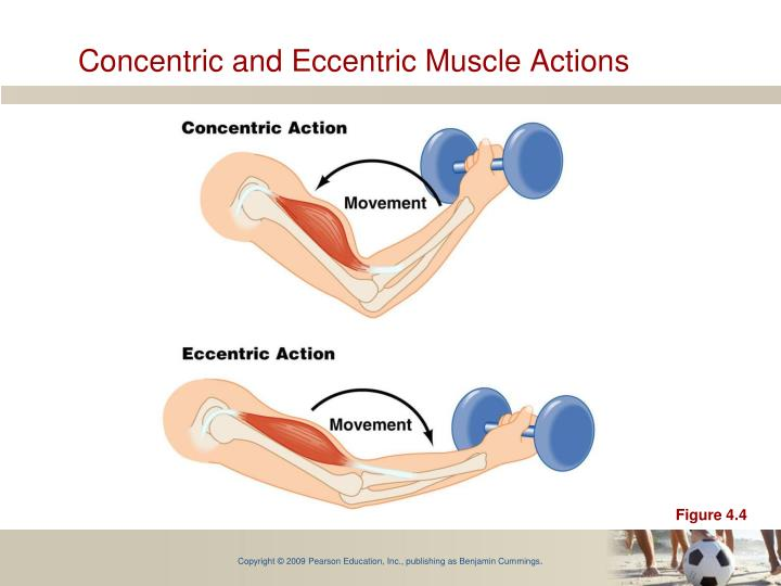 Concentric and Eccentric Muscle Actions