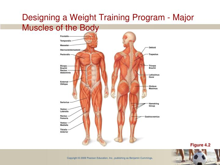 Designing a Weight Training Program - Major Muscles of the Body