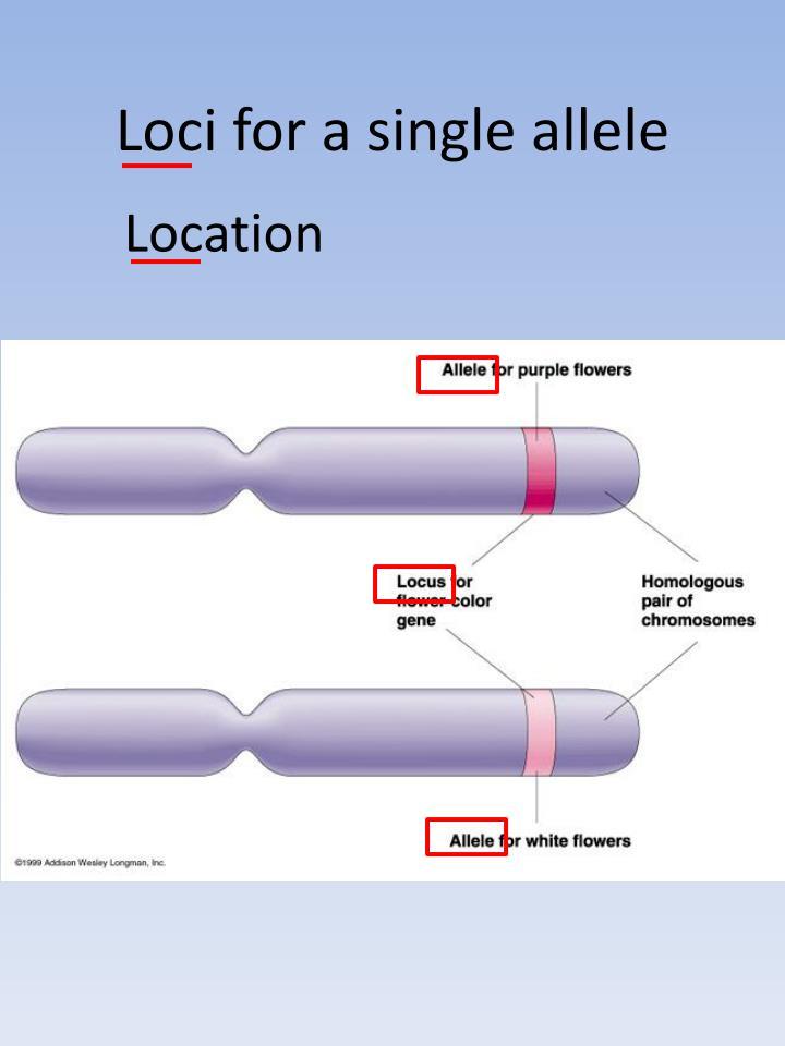 Loci for a single allele