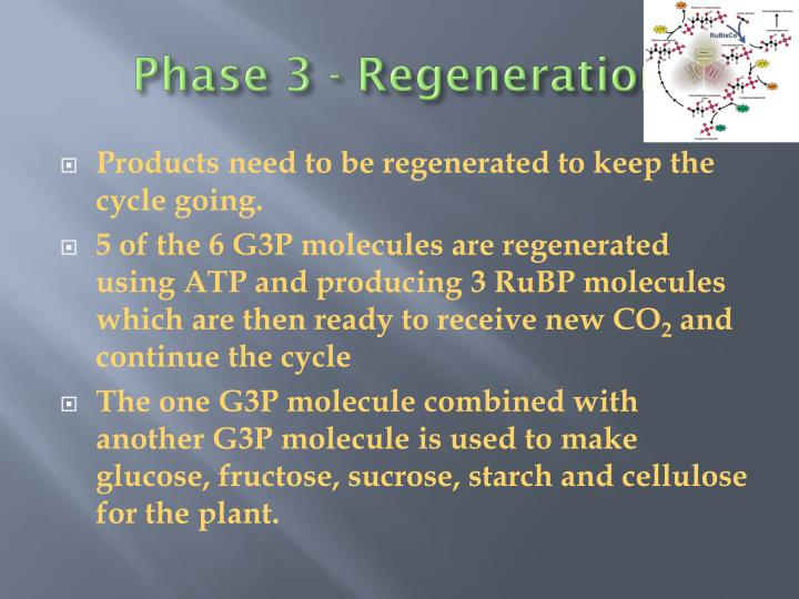 Phase 3 - Regeneration