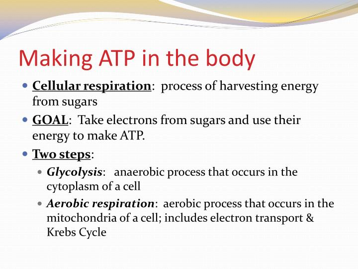 Making atp in the body