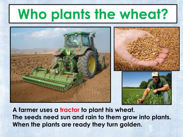 Who plants the wheat?